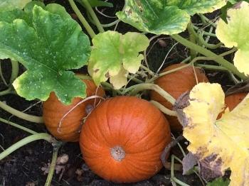 Pumpkins_crop