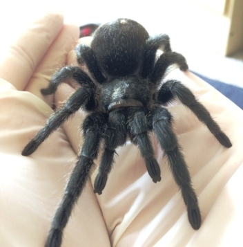 Tarantula_close