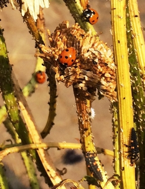 7spot_ladybird_family