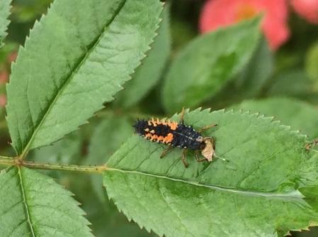 harlequin_ladybird_larva