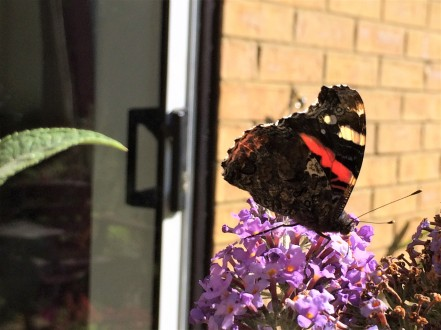 Red Admiral Butterfly Legs