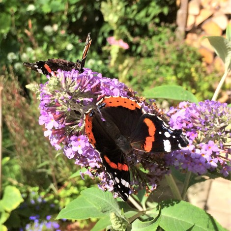 Red Admiral Butterfly square