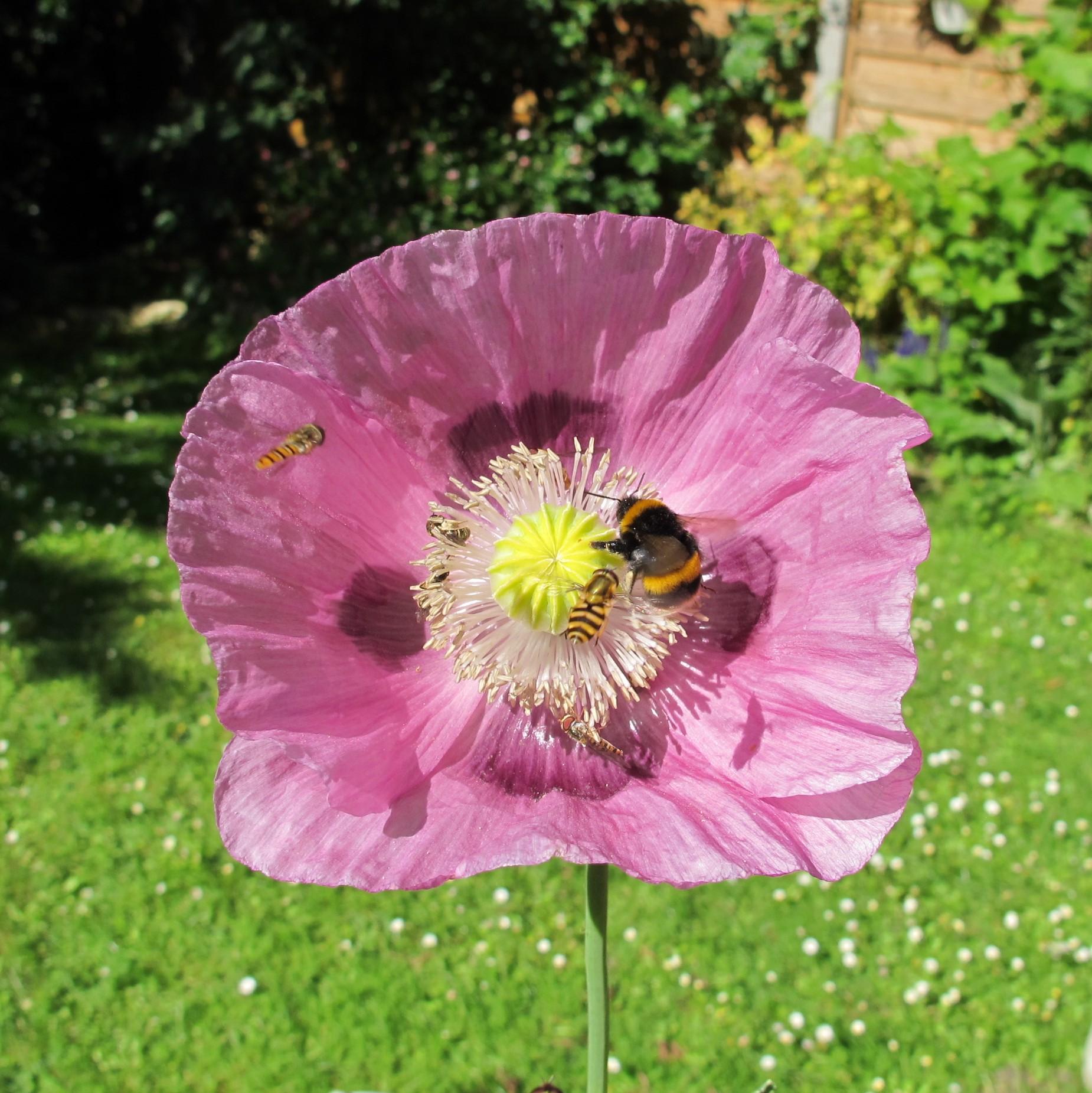 Hoverflies bee poppy