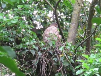 Hawk Mum on nest 4May 2020